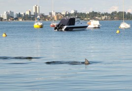053928-dolphin-in-swan-river